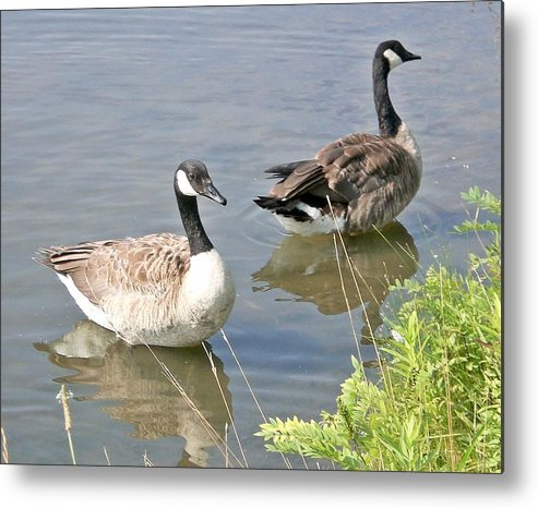 Geese Metal Print featuring the photograph Life Is Good For Canadian Geese by Sholeh Mesbah