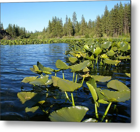 Nature Metal Print featuring the photograph Lilypads On Amber Lake by Ben Upham III