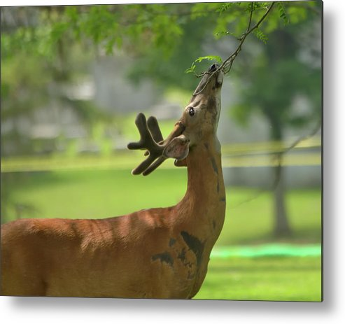 Deer Metal Print featuring the photograph Lunch Time by Deborah Ritch