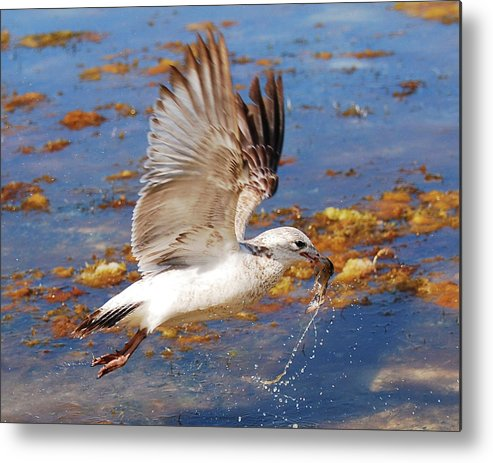 Seagull Metal Print featuring the photograph Lunch Time by Roger And Michele Hodgson