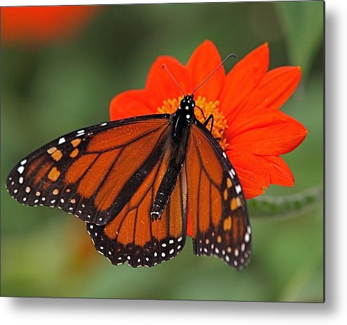 Butterfly Metal Print featuring the photograph Monarch Butterfly by Peter Gray