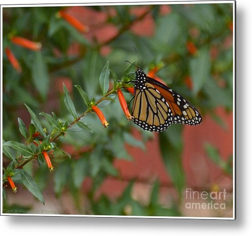 Butterfly Metal Print featuring the photograph Monarch On Cigar Plant by Carol Bradley