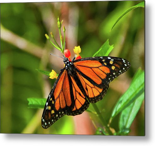 Animal Metal Print featuring the photograph Monarch by Steve and Donna Krumenaker
