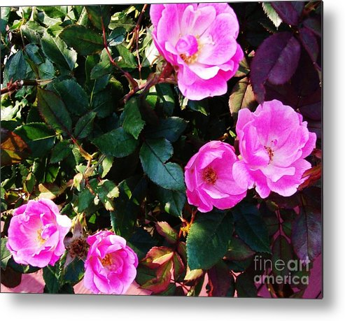 Photograph Metal Print featuring the photograph My First Rose Bush by Marsha Heiken
