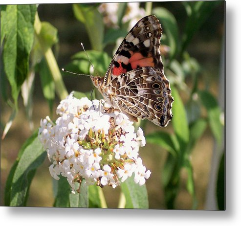 Insects Metal Print featuring the photograph Painted Lady by Douglas Egolf