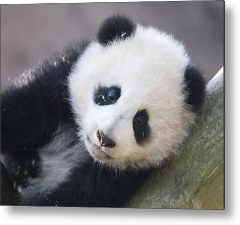 Panda Metal Print featuring the photograph Panda Cub by Jerry Weinstein