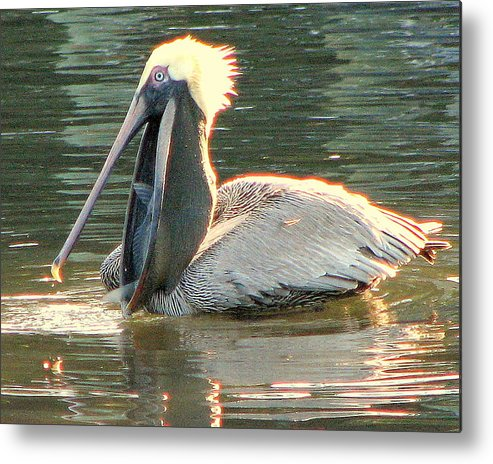 Pelican Metal Print featuring the photograph Pelican Dinner by T Guy Spencer