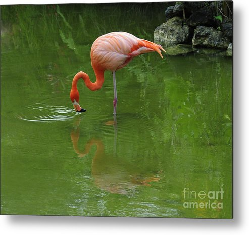 Pink Flamingo Metal Print featuring the photograph Pink Flamingo by Cindy Lee Longhini