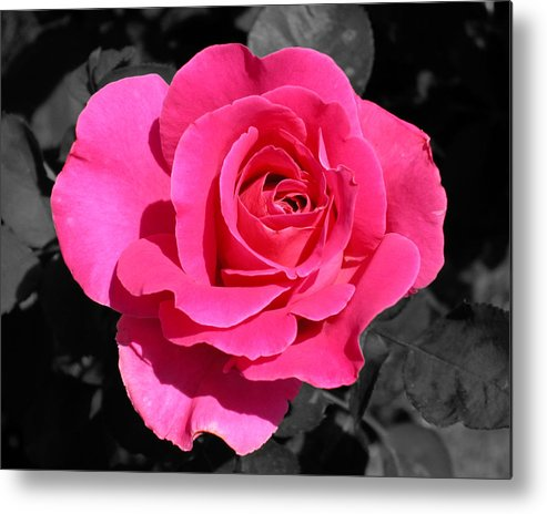 Pink Metal Print featuring the photograph Perfect Pink Rose by Michael Bessler