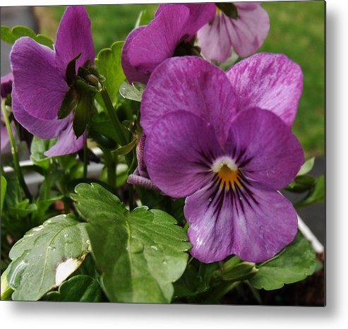 Flower Metal Print featuring the photograph Purple Pansy by Charleen Borchers