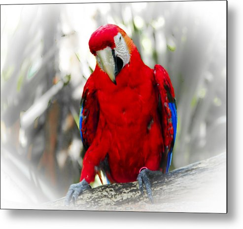 Brevard Zoo Metal Print featuring the photograph Red Parrot by Roger Wedegis