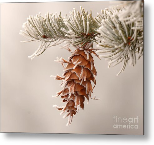 Spruce Metal Print featuring the photograph Rime Ice Lightly Clinging To Spruce Cone by Max Allen