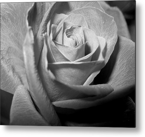 Rose Metal Print featuring the photograph Rose by Lindsey Orlando
