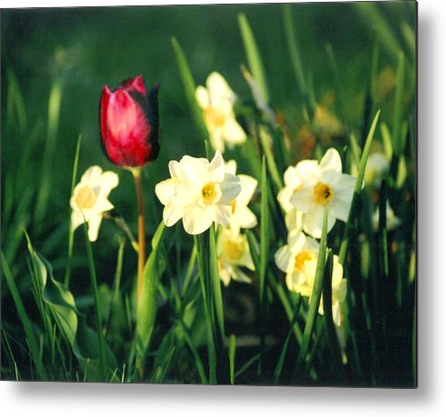 Tulips Metal Print featuring the photograph Royal Spring by Steve Karol