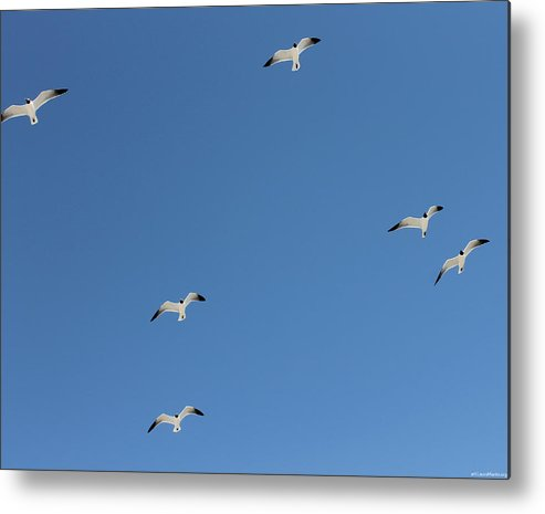 Blue Metal Print featuring the photograph Seagulls 6 by Laura Martin