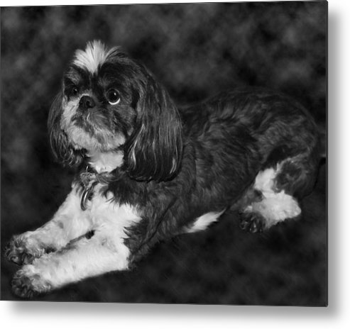 3scape Photos Metal Print featuring the painting Shih Tzu by Adam Romanowicz