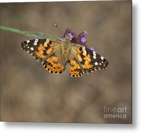 Painted Lady Metal Print featuring the photograph Sipping Nectar by Claudia Kuhn