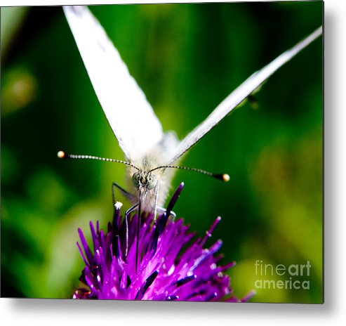 Nature Scenes Metal Print featuring the photograph Small White Cabbage Butterfly Pieris Rapae by Chris Smith