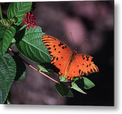 Butterfly Metal Print featuring the photograph Survivor by Bob Guthridge