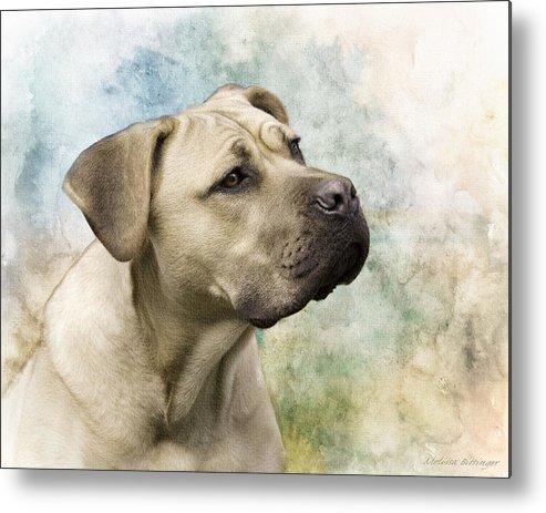 Sweet Cane Corso Italian Mastiff Dog Portrait Metal Print By
