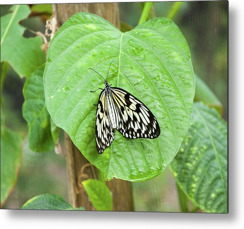 Animal Metal Print featuring the photograph Tree Nymph Butterfly by Steve and Donna Krumenaker
