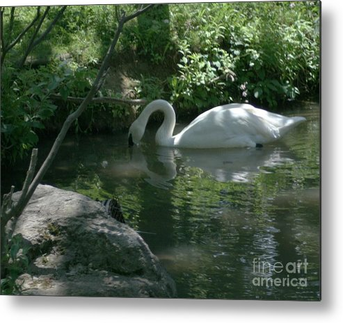 Trumpeter Swan Metal Print featuring the photograph Trumpeter Swan by Dawn Downour