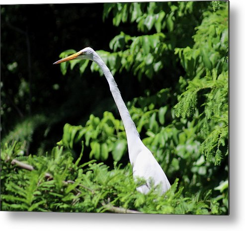 Egret Metal Print featuring the photograph Up In The Tree by Nadia Asfar