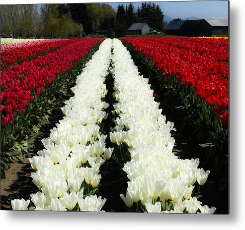 White Tulips Metal Print featuring the digital art White Tulip Rows by Mia DeBolt
