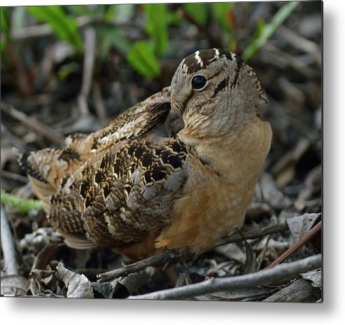 North American Metal Print featuring the photograph Woodcock At Rest by Mark Wallner