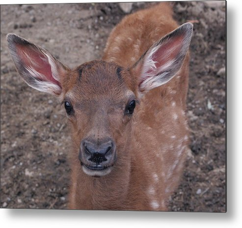 Fawn Metal Print featuring the photograph Young Elk Fawn by Crystal Rolfe