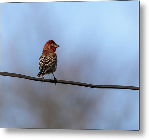 House Finch Metal Print featuring the photograph House Finch 2019-1 by Thomas Young