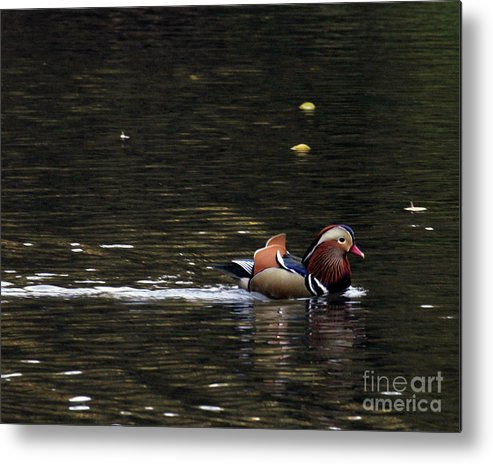 Mandarin Duck Metal Print featuring the photograph Mandarin Duck 7 by Patricia Youngquist