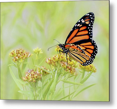 Butterfly Metal Print featuring the photograph Monarch Butterfly - In The Light by Nikolyn McDonald