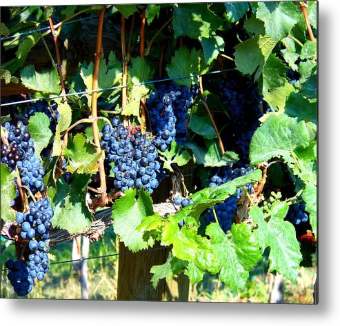 Grapes Metal Print featuring the photograph Before The Harvest by Kay Gilley