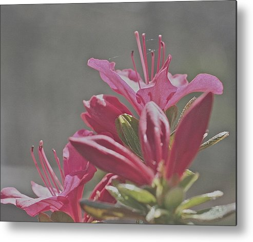 Azalea. Blooming Metal Print featuring the photograph Blooming Azalea by Bill Zajac