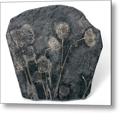 Traumatocrinus Kweichouwensis Metal Print featuring the photograph Fossil Crinoids by Pascal Goetgheluck/science Photo Library