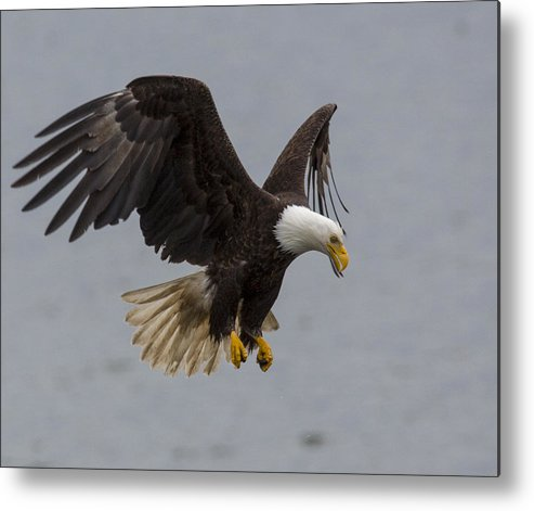 Bald Metal Print featuring the photograph Hover Hunter by Mike Taddeo