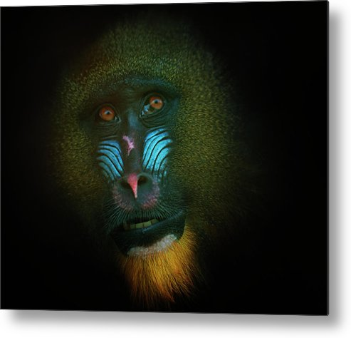 Glasgow Metal Print featuring the photograph Mandrill by Samantha Nicol Art Photography