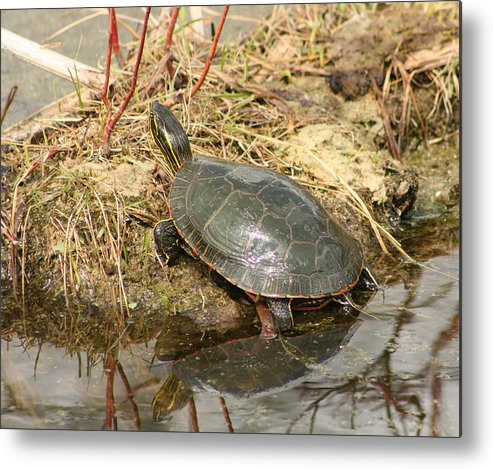 Western Painted Turtle Metal Print featuring the photograph Painted Turtle Reflected In Water by Robert Hamm