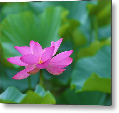 Pink Metal Print featuring the photograph Pink Lotus Blossom by Jack Nevitt