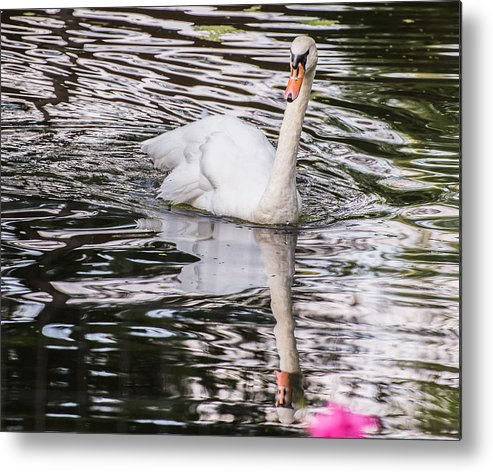 Swans Metal Print featuring the photograph Reflective Swan by Diane Travis
