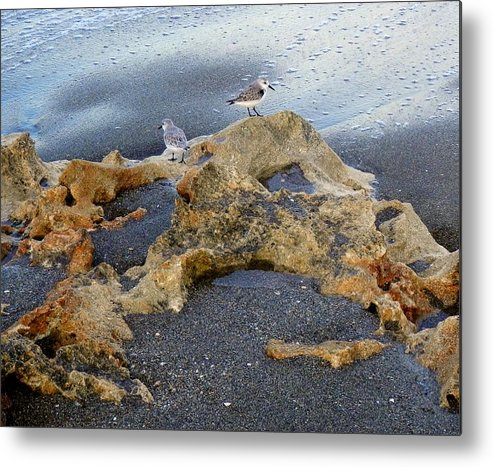 Sandpipers Metal Print featuring the photograph Sandpipers 1 by Joe Wyman