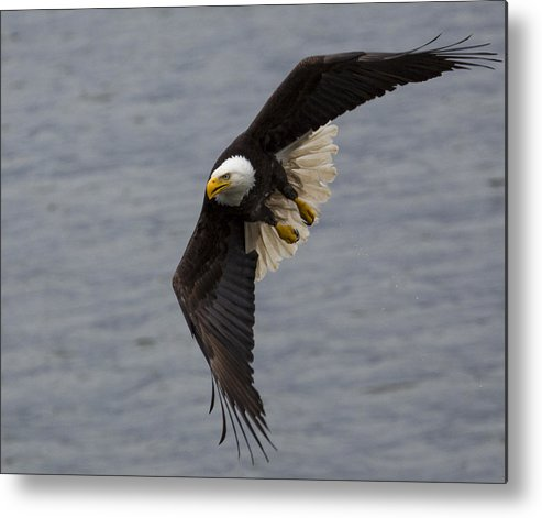 Bald Metal Print featuring the photograph Silent Hunter by Mike Taddeo