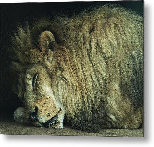 Africa Beasts Big Carnivore Cat Hunter King Lion Predator Sleeping The Tired Wild Wildlife Zoo Sleepy Metal Print featuring the photograph Sleepy Beast by Thomas Shanahan