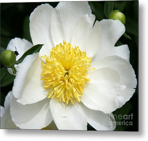 Peony Metal Print featuring the photograph Snow White Peony by Christiane Schulze Art And Photography