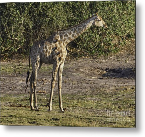 Africa Metal Print featuring the photograph Tall One by Kati Tomlinson