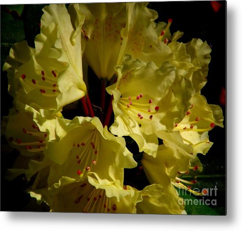 Yellow Rhododendron Metal Print featuring the photograph Yellow Rhododendron by CapeScapes Fine Art Photography