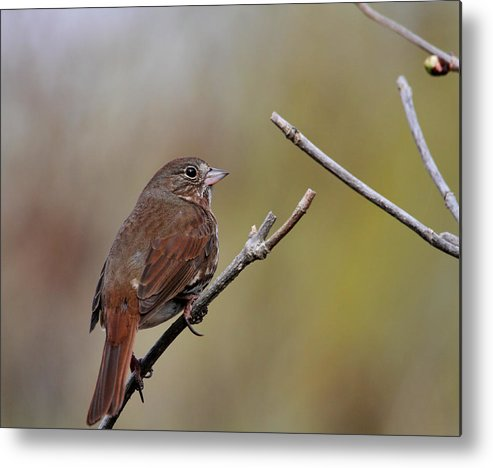 Doug Lloyd Metal Print featuring the photograph Fox Sparrow by Doug Lloyd