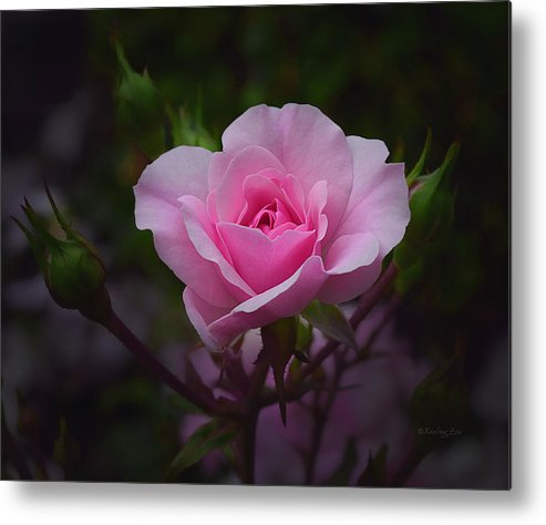 Roses Metal Print featuring the photograph A Pink Rose by Xueling Zou