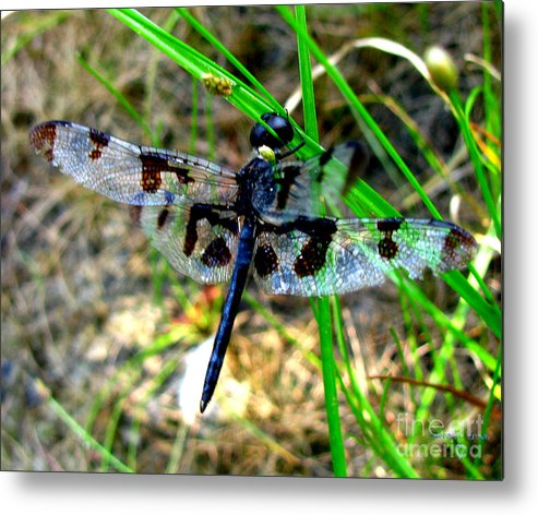 Insect Metal Print featuring the photograph Banded Pennant Dragonfly by Donna Brown